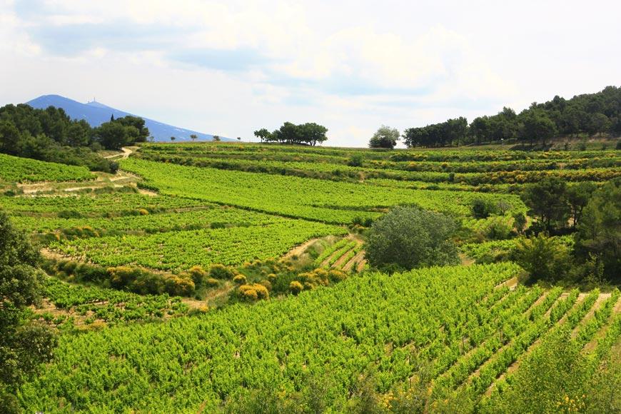 Grape picking season in Provence