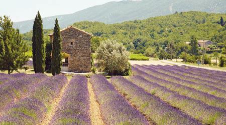 mont ventoux lavender fields