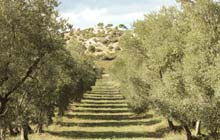 walking holidays provence in the olive trails