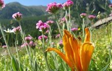 wildflowers mercantour lily