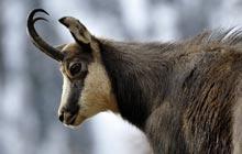 chamois mercantour wild goat