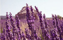 lavender field above bonnieux in the luberon